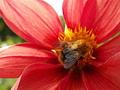 Пчелка.